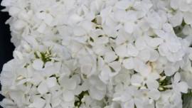 Флокс Белая Крошка