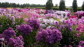Флоксы - душа русского сада
