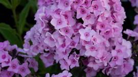 Флокс Розовая Крошка
